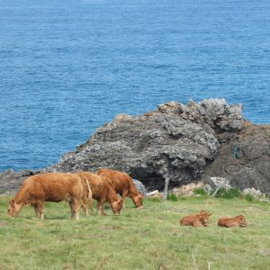 Cows pasturing next to the Atlantic Ocean